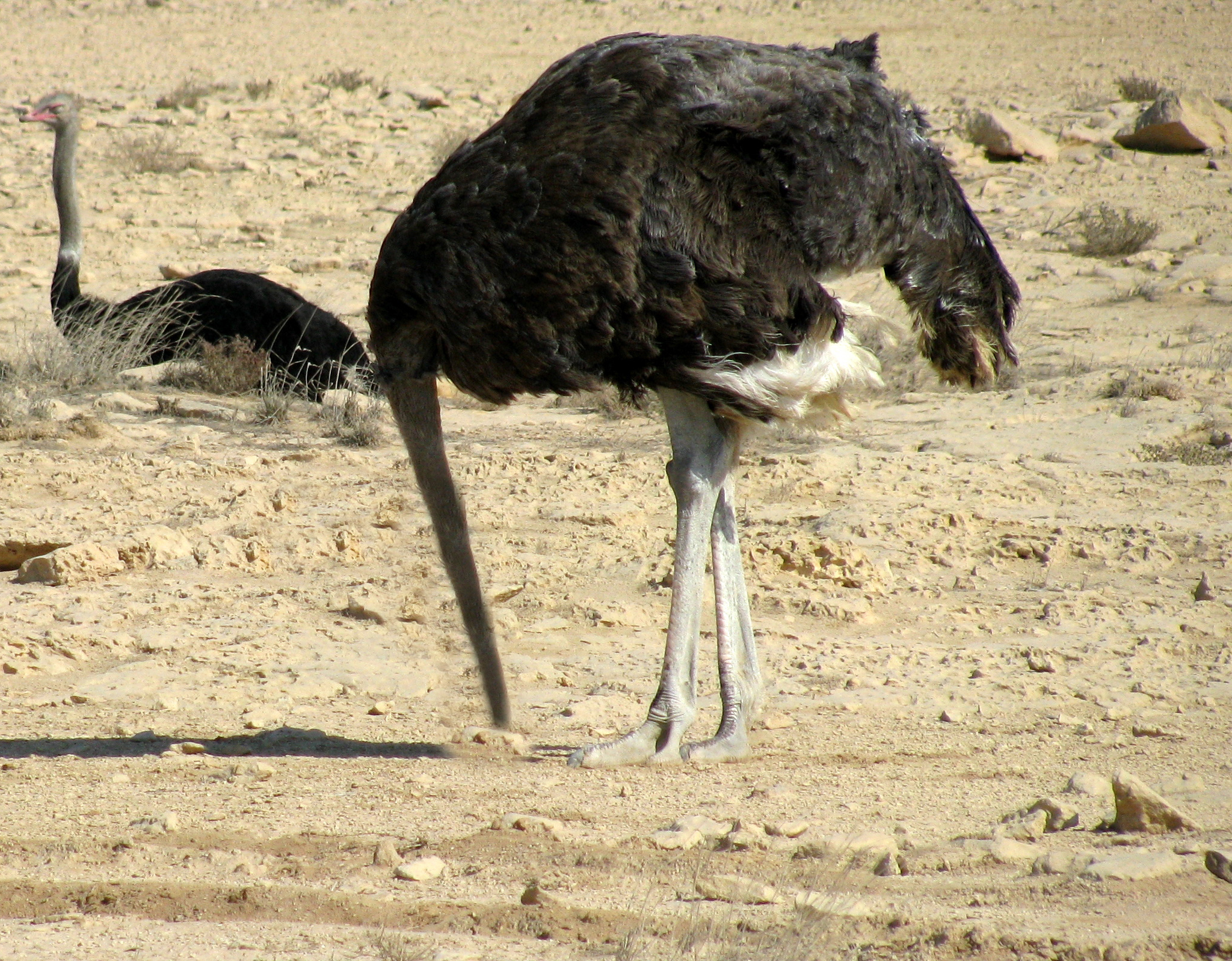 Ostrich Head In Sand Mostons